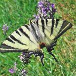 Papillon Flambé 001